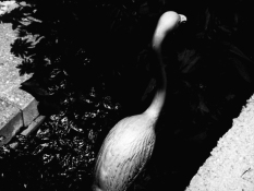SHORT_flamingo